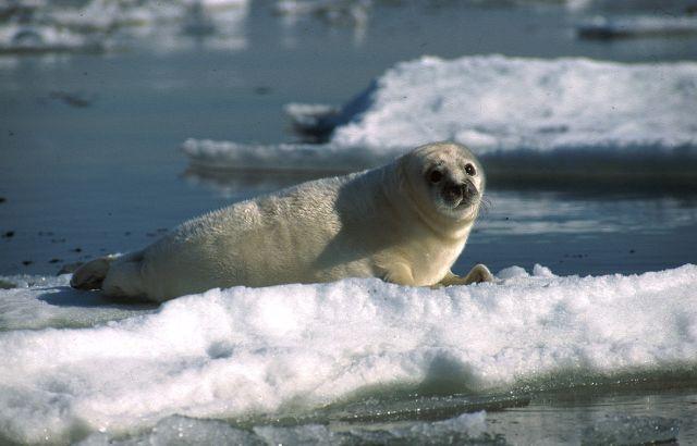 A baby grey seal