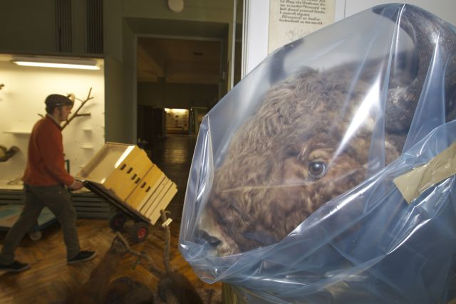 Packing in the stuffed animals at the UT Natural History Museum. Photo by Ove Maidla.