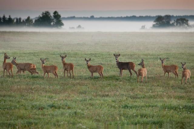 Deers in Matsalu