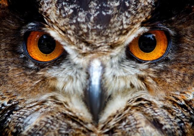 Owl's gaze
