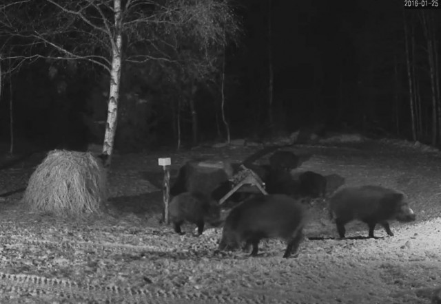 Wild boars' webcam view view