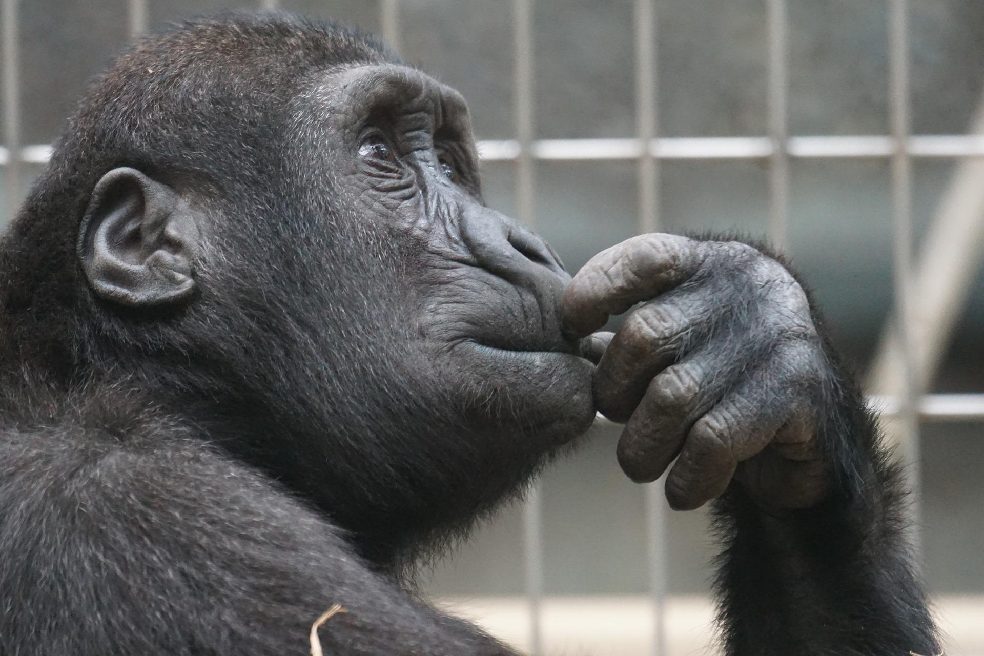 thinking-monkey